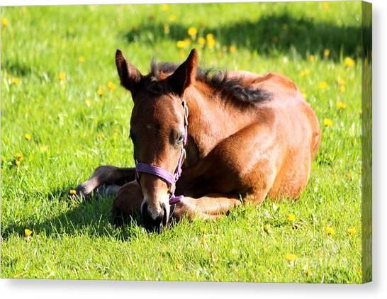 Snoozing Foal Canvas Print
