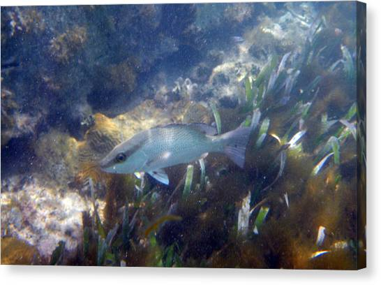 Snorkeling In The Tortugas Canvas Print