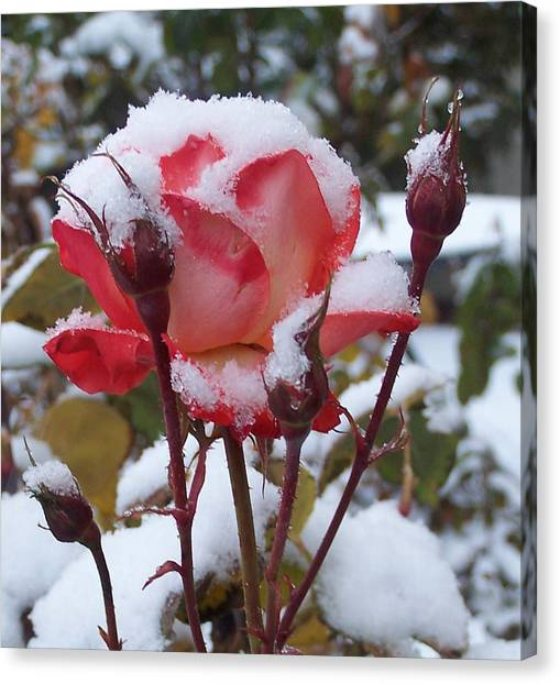 Snow Blooms Canvas Print