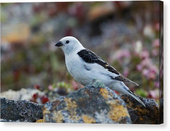 Buntings Canvas Print - Snow Bunting by Ken Archer