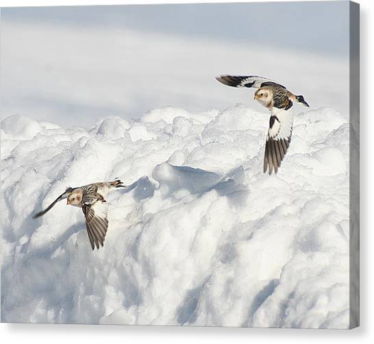 Canvas Print featuring the photograph Snow Buntings In Flight by William Selander
