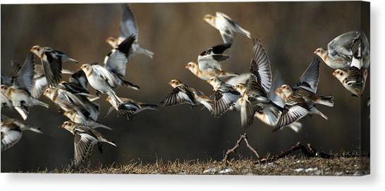 Canvas Print featuring the photograph Snow Buntings Taking Flight by William Selander