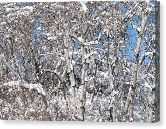 Snow Covered Birch Trees Canvas Print