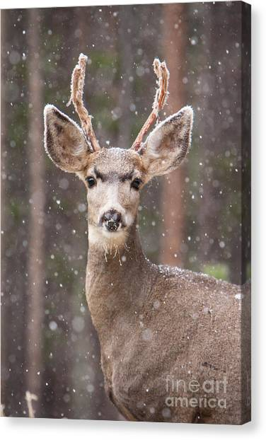 Snow Deer 1 Canvas Print