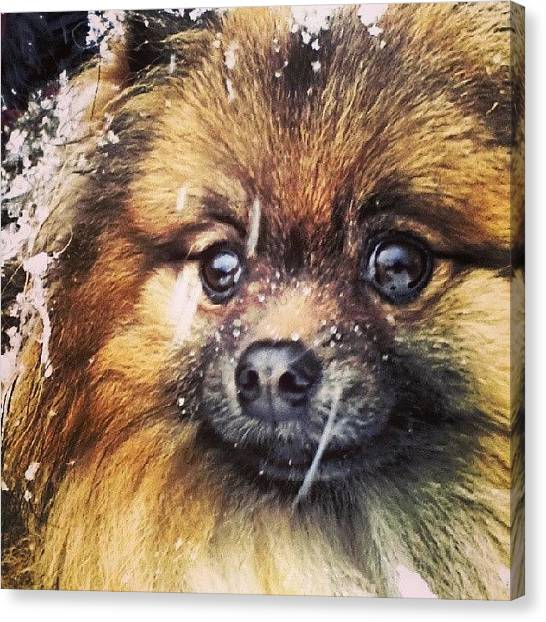 Pomeranians Canvas Print - Snow Dog by Melissa Shutts