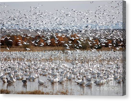 John Greco Canvas Print - Snow Geese No.4 by John Greco