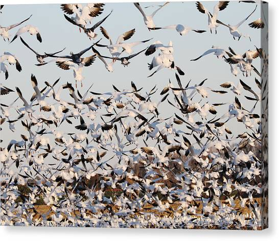 Snow Geese Takeoff From Farmers Corn Field. Canvas Print