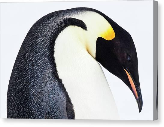 Aptenodytes Forsteri Canvas Print - Snow Hill, Antarctica by Janet Muir