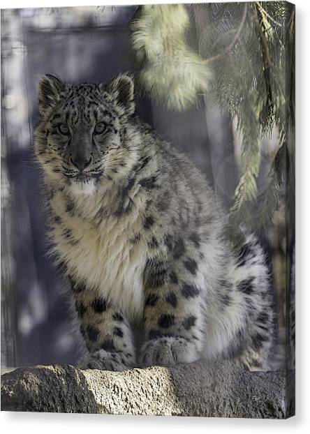 Syracuse University Canvas Print - Snow Leopard 1 by Everet Regal