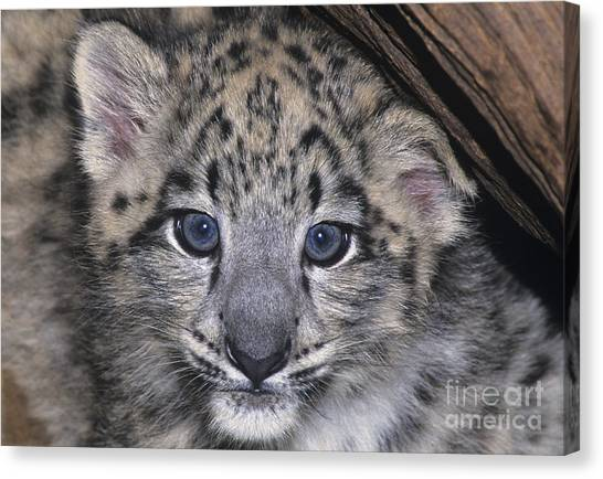 Snow Leopard Cub Endangered Canvas Print