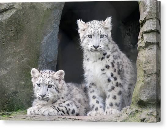 Snow Leopard Cubs Canvas Print