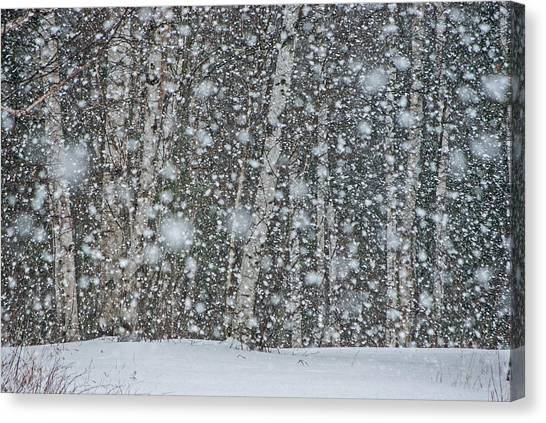 Snow On Birch  Canvas Print
