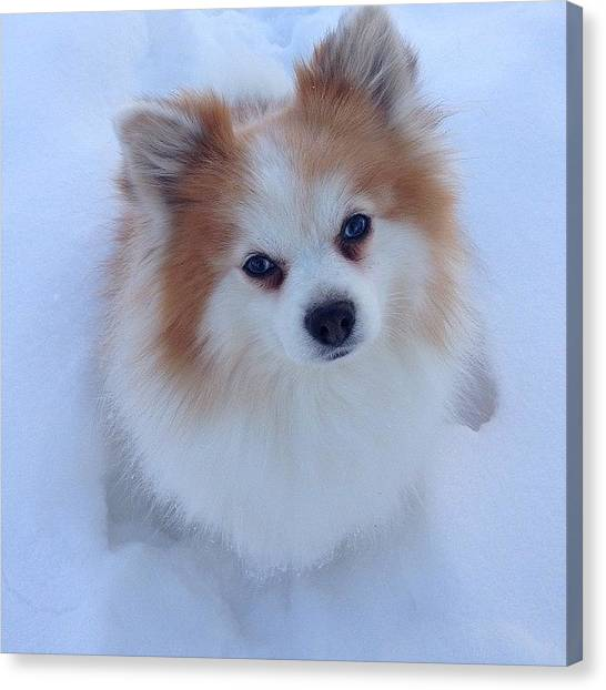 Pomeranians Canvas Print - Snow Dog by Laura Saydak