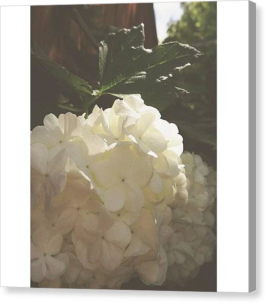 Snowball Canvas Print - #snowball #flowers #afterlight #summer by Valaree Hoge