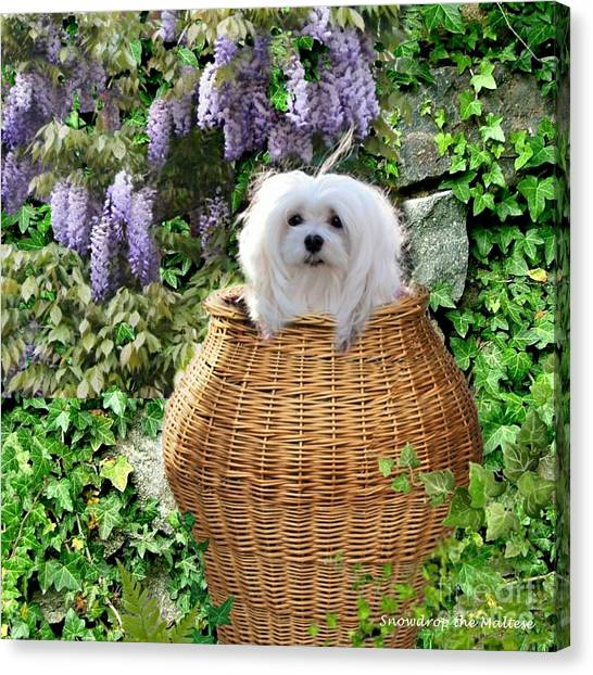 Snowdrop In A Basket Canvas Print