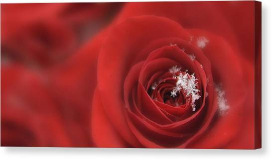 Snowflakes On A Rose Canvas Print