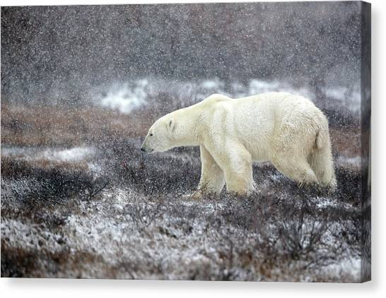 Polar Bears Canvas Print - Snowing Time by Alessandro Catta