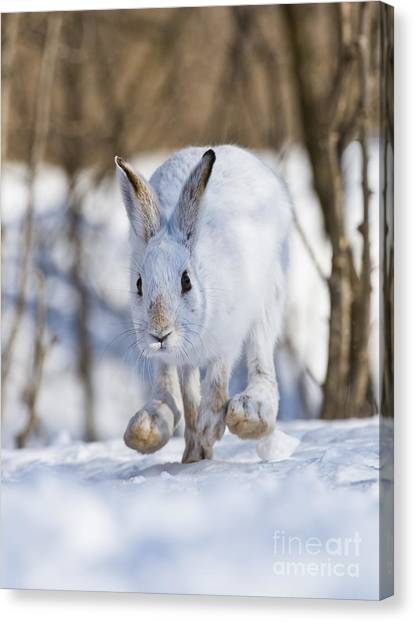 Canvas Print - Snowshoe Hare Pictures 79 by World Wildlife Photography