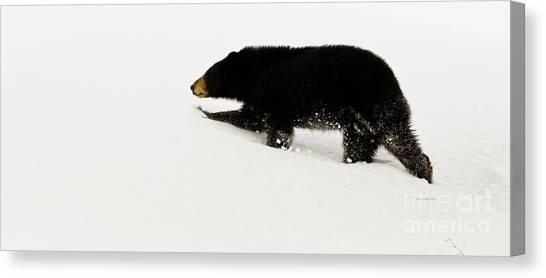 Snowy Bear Canvas Print
