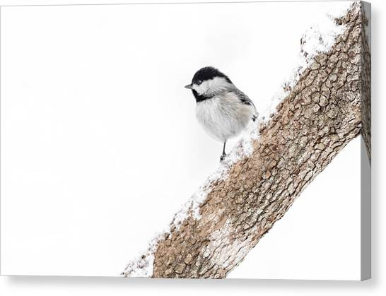 Snowy Chickadee Canvas Print