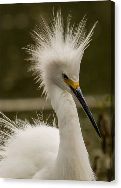 Snowy Egret Display Canvas Print