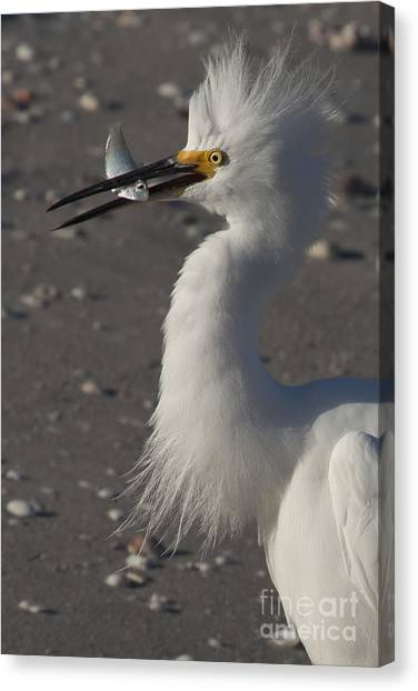 Snowy Egret Fishing Canvas Print