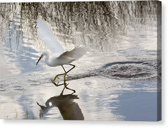 Snowy Egret Gliding Across The Water Canvas Print