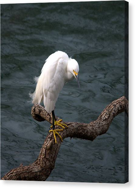 Snowy Egret Out On A Limb Canvas Print