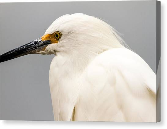 Snowy Egret Profile Canvas Print