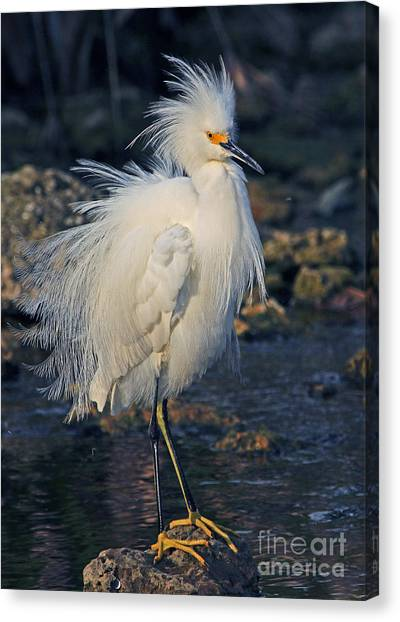 Snowy Egret Show Off Canvas Print