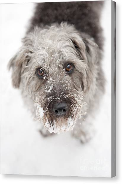 Dog Canvas Print - Snowy Faced Pup by Natalie Kinnear