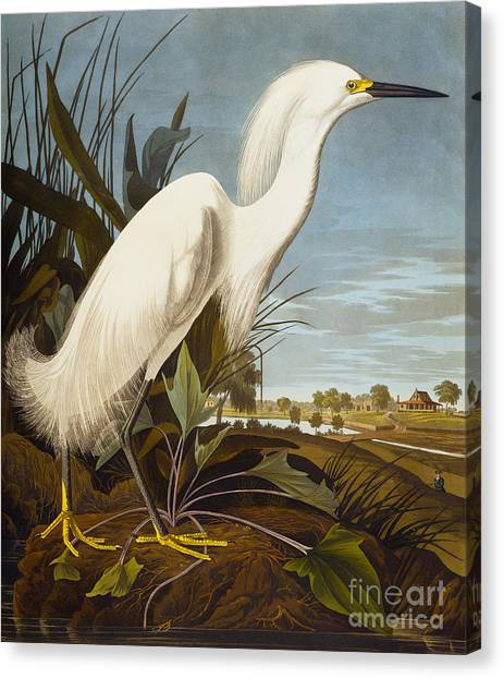 Egrets Canvas Print - Snowy Heron Or White Egret by John James Audubon