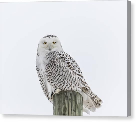 Snowy Owl 2014 1 Canvas Print