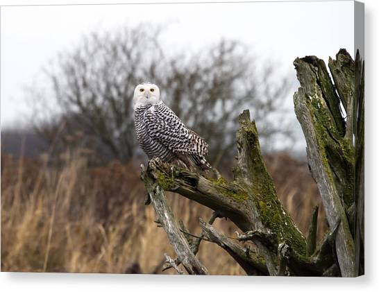 Snowy Owl At Boundary Bay  Canvas Print by Pierre Leclerc Photography