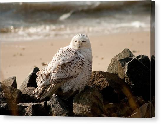 Snowy Owl At Forsythe Canvas Print