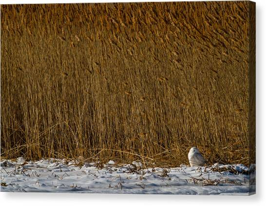 Images By Mark Andrews Canvas Print - Snowy Owl In A Field Of Gold by Mark Andrews