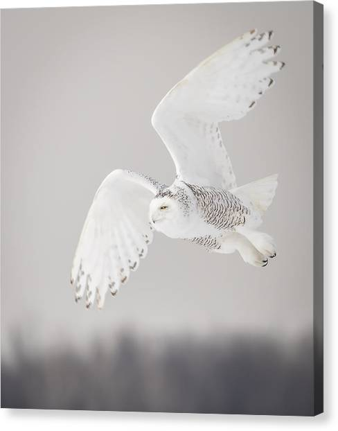Snowy Owl In Flight 4 Canvas Print