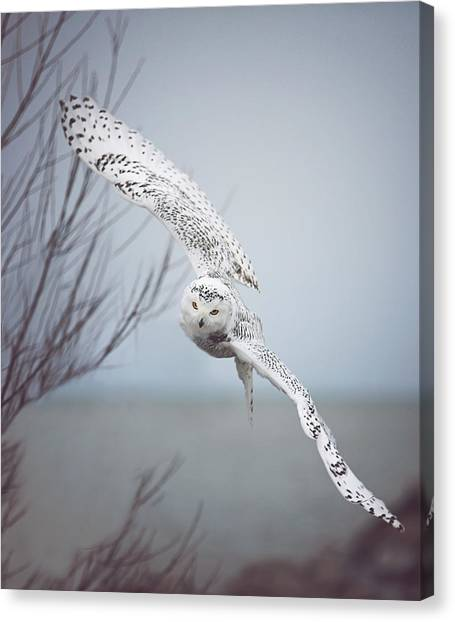 Winter Landscape Canvas Print - Snowy Owl In Flight by Carrie Ann Grippo-Pike