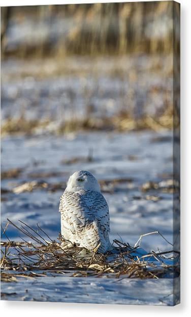 Snowy Owl In Snowy Field Canvas Print by Mark Andrews