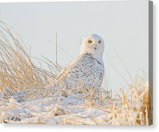 Snowy Owl In The Snow Covered Dunes Canvas Print