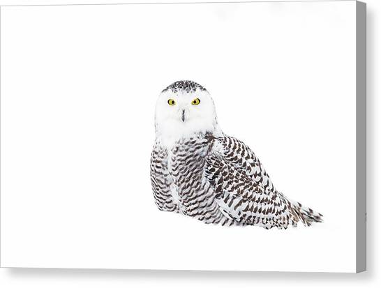 Camouflage Canvas Print - Snowy Owl In Winter Snow by Jim Cumming