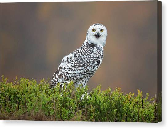 Owls Canvas Print - Snowy Owl by Milan Zygmunt