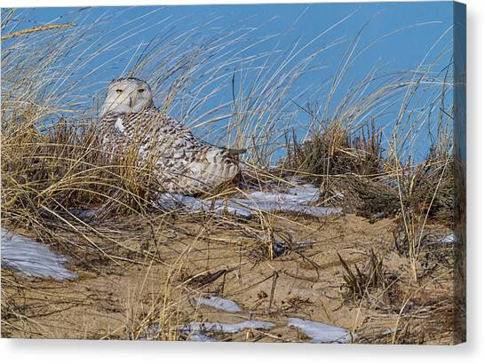 Images By Mark Andrews Canvas Print - Snowy Owl On A Sand Dune by Mark Andrews