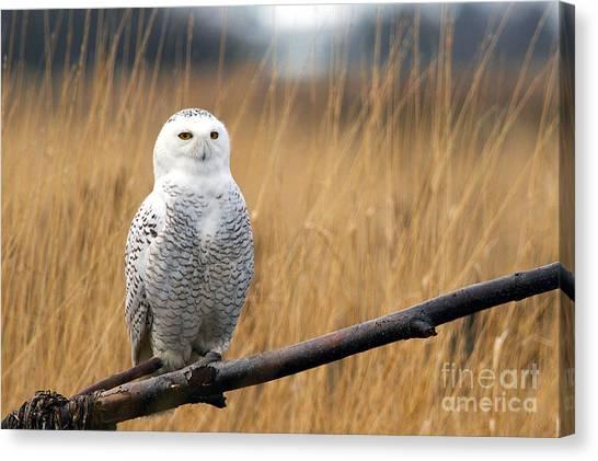 Snowy Owl On Branch Canvas Print