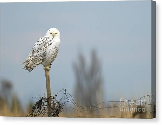 Snowy Owl On Fence Post 2 Canvas Print