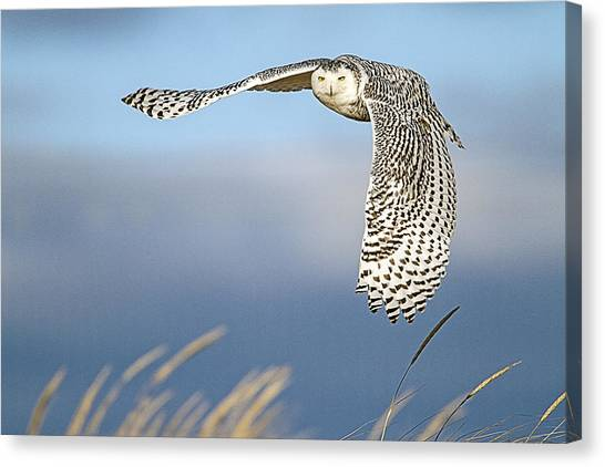 Snowy Owl Over The Dunes Canvas Print