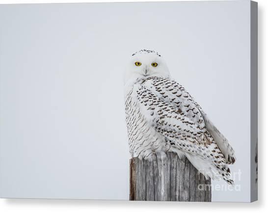 Snowy Owl Perfection Canvas Print