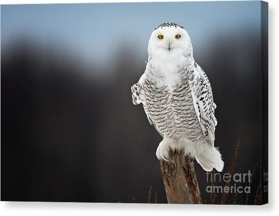 Snowy Owl Pictures 13 Canvas Print