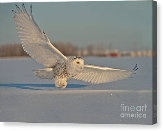 Snowy Owl Pictures 7 Canvas Print