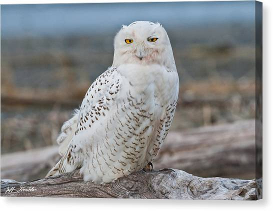 Snowy Owl Watching From A Driftwood Perch Canvas Print
